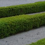 Základem pěkného živého plotu je jeho střih