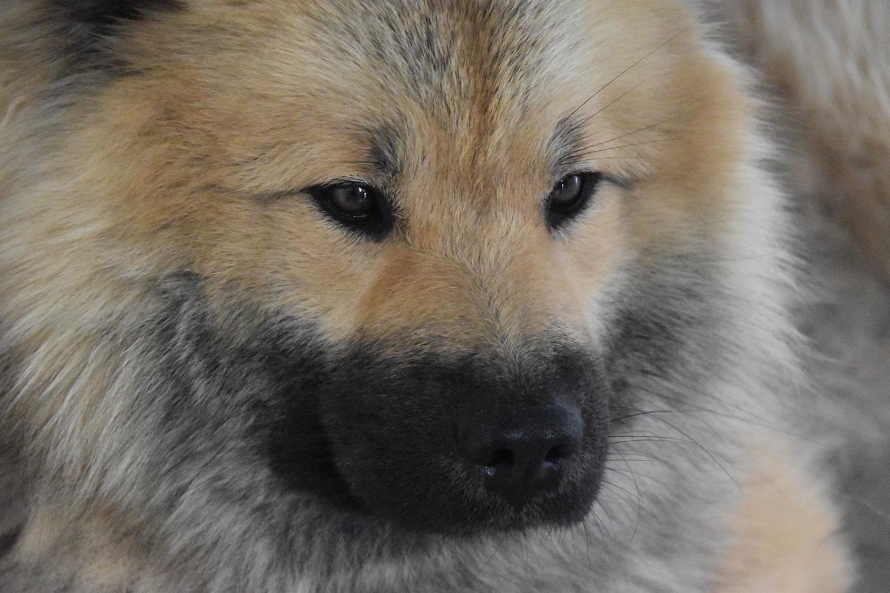 Dog Next Dog Eurasier Dog Portrait