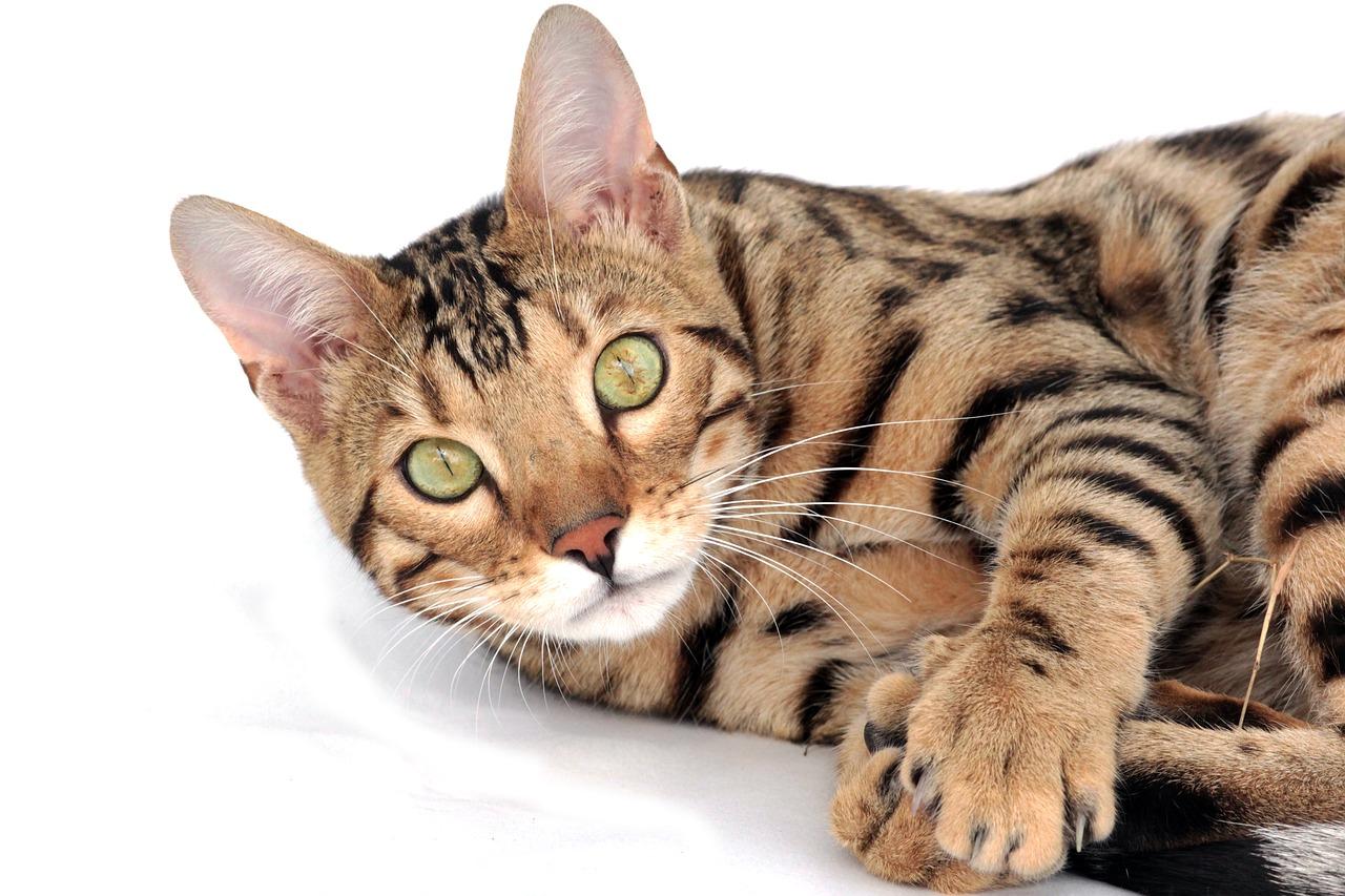 Bengálský tygr nebo útlocitná seveřanka? Poradíme vám s výběrem